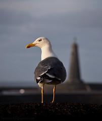 Looking at the horizon. (Beatriz-c) Tags: seagul gaviota ave bird pájaro mar sea ocean oceano lighthouse faro natura naturaleza canary islands islas canarias