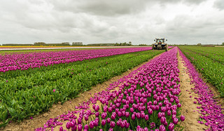 Mechanized cutting off the flower heads in a tulip field