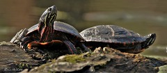 turtles (don.white55 what's the hurry..) Tags: painted turtles chrysemys picta wildwoodpark harrisburgpennsylvania reptiles