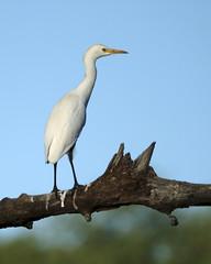 Great Egret (Joe Tecza) Tags: zambezi zambeziriver lowerzambezinationalpark zambia canoe canoetrip egret greategret