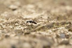 20170426_011_2 (まさちゃん) Tags: 蟻 アリ ant