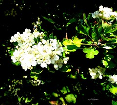 Parklife-England (J Holmes-Leather) Tags: plants flowers nature parks garden outdoors england seasons white green colour color