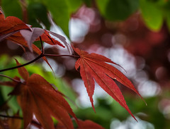 Collide-scope.. (Omygodtom) Tags: outdoors contrast composition colorful color leaves tamron90mm tamron red green macro bokeh tree nikon natural nature d7100