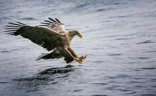 Sea (or White Tailed) Eagle