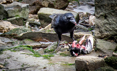 Bird Food (DobingDesign) Tags: crow riverthames eating cannibalism dead blood death murder sinister creepy shore riverbank riverside weed wet flesh feathers nature shocking gorey
