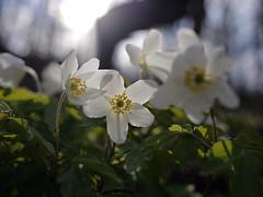 Happy 1. May ! (Päivi ♪♫) Tags: norway oslo forest flowers spring white anemonenemorosa woodanemone valkovuokko smellfox