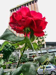 Everything is in a rose but everyone are blind (ingcuevas) Tags: flower red rose plant green beautiful nature street romance colorful colors building leaves leaf life vibrant petals rosa planta flor verde rojo thorns