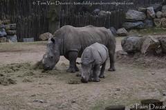 zuidelijke witte neushoorn - Ceratotherium simum simum - Southern white rhinoceros (MrTDiddy) Tags: zuidelijke witte neushoorn ceratotherium simum southern white rhinoceros pairidaiza pairi daia
