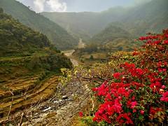 NEPAL, Rund um Pokhara,  Am Kloster im Phewa Tal, 16077/8346 (roba66) Tags: kloster textur texture effecte tal valley blüten felder reisen travel explore voyages roba66 visit urlaub nepal asien asia südasien pokhara landschaft landscape paisaje nature natur naturalezza