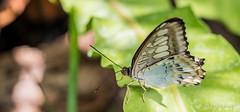 JM foto75-129 (janetankersmit) Tags: 2017 vlinders vlindertuin zutphen