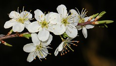 Blackthorn -Prunus spinosa 030417 (4) (Richard Collier - Wildlife and Travel Photography) Tags: macro flora flowersenglishflowers flowers wildflowers flowe blackthorn prunusspinosa macroonblack naturethroughthelens