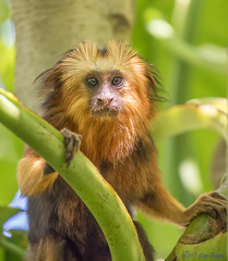 """5-month old """"Rui"""" - Male Golden-headed Lion Tamarin (Leontopithecus chrysomelas) - Parker Aviary - San Diego Zoo (Jim Frazee) Tags: male goldenheadedliontamarin leontopithecuschrysomelas parkeraviary sandiegozoo"""