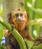 "5-month old ""Rui"" - Male Golden-headed Lion Tamarin (Leontopithecus chrysomelas) - Parker Aviary - San Diego Zoo (Jim Frazee) Tags: male goldenheadedliontamarin leontopithecuschrysomelas parkeraviary sandiegozoo"