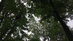 IMG_1724 (Montgomery Parks, MNCPPC) Tags: popupinmontgomeryparks bethesda treeclimbing climbatree tree climbingtrees kids children boys girls arborists elmstreeturbanpark spring may may2017 leaves treetrunks toddler