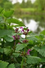 lamium maculatum on the banks of the lippe  II (pancolar user) Tags: lumixgasph1725mm lamium lamiummaculatum lamiaceae lumix1725
