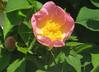 10-IMG_6389 (hemingwayfoto) Tags: blühen blüte blüten blütenstempel blume botanik busch einheimisch flora gelb heckenrose pflanze rosa rosacanina rose rosengewächs strauch wildrose zart