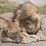 Lion Lovers - The Serengeti thumbnail