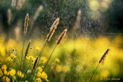 fresh shower (www.petje-fotografie.nl) Tags: boterbloem water aren druppels geel tegenlicht