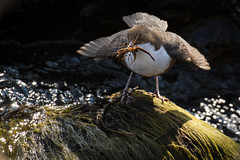 Dipper (ToriAndrewsPhotography) Tags: dipper river insects eating beak full dinner stream isle mull dervaig photography andrews tori ngc