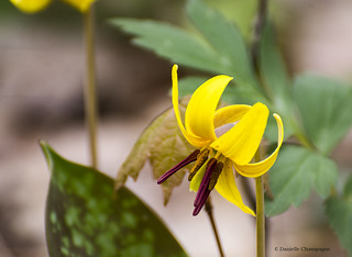 Erythrone d'amérique - Yellow Trout Lily DBC_4217 w