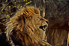 LÖWE (Gila98) Tags: löwe lion
