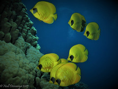 THE BEAUTIFUL GANG_ (Niall Deiraniya Underwater Photography) Tags: fish butterfish clown gang marine coral under