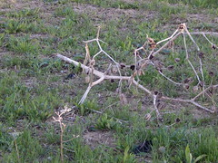 Skeletal plant (amgirl) Tags: spain 2017 navarra puentalareina march31 day2 evening
