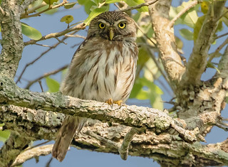 Record shot of Ferruginous Pygmy-Owl (Glaucidium brasilianum) - Kingsville, TX