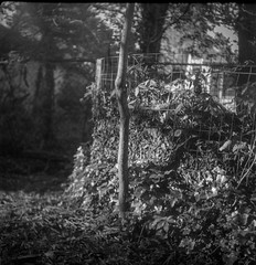 leaf compost bin V, wire fence, yard, West Asheville, NC, Flektar TLR, Arista.Edu 400, Ilford Ilfosol 3 developer, late April 2017 (steve aimone) Tags: leaves compost compostbin wirefence trees yard westasheville northcarolina flektar flektar75mmf35 tlr twinlensreflex aristaedu400 ilfordilfosol3developer 120 film 120film mediumformat monochrome monochromatic blackandwhite 6x6