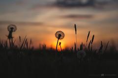 (CarolienCadoni..) Tags: sonyslta99 sal2470z dandelion sun sundown sunset photography clouds drenthe nieuwbuinen netherlands holland