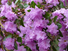 'PJM' rhododendron (lovesdahlias 1) Tags: rhododendrons shrubs flowers blossoms waterdrops gardens nature spring newengland doublefantasy