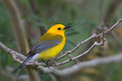 Prothonotary Warbler (Greg Lavaty Photography) Tags: prothonotarywarbler protonotariacitrea texas may male bird nature wildlife brazosbend satepark bbsp outdoors neotropical