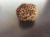 Frucht der Steinnusspalme / Elfenbeinpalme