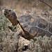Male Agassiz's Desert Tortoise - California