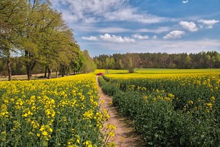 Yellow fields of rapeseed