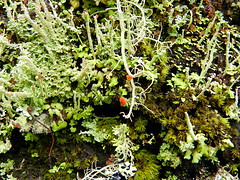 Forest Floor (Ramona H) Tags: lichen moss britishsoldiers at appalachiantrail sc southcarolina hiking forest glassminegap
