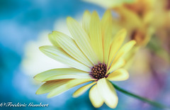 sunny day (frederic.gombert) Tags: flower flowers light sun sunny daisy orange yellow blue macro nikon 105mm color colors colorful