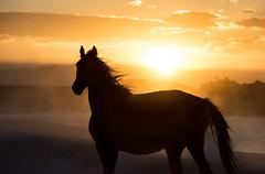 wildhorse at sunset (explored) (Jami Bollschweiler Photography) Tags: wild horse sunset foal filly pinto onaqui herd wildlife photography west desert utah great basin fighting