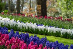 E' Lei (marypink) Tags: parcokeukenhof lisse olanda thenetherlands holland primavera flowers spring nikond800 70300mmf456