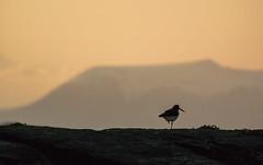 """Waiting #2"" (Ronny Årbekk - http://arcticphotography.no) Tags: oystercatcher bird sunset arctic arcticnorway wildlife 1nikkorvr70300f4556 70300f4556vrn1 nikon1v3 v3 nikon nikkor 70300 cx70300 nikon1 cffaa ngc specland flickrsbest norway norge nordnorge norwegen ronnyårbekk ronnyårbekkphotography northernnorway norwegian norsk norwegianphotographer fotograf visipix iamnikon nikonphotography wonderfulworld"
