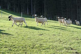 Waliser Schwarznasenschafe am Breilerhof