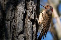 Northern Flicker (male) (soupie1441) Tags: london ontario canada nikon d7200 nikkor 200500mm bird animal northern flicker male wild life nature wildlife woodpecker spotted