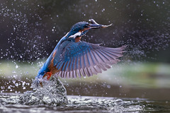 Fishing (Mr F1) Tags: kingfisher johnfanning diving fish scotland outdoors wild nature wet splash detail alcedoathis