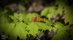 For a Dance (1 of 1) (amndcook) Tags: amandacook easterncomma michigan nature outdoors colorful woods spiritledphotography spring butterfly green insect leaf orange outside photo photograph season wildlife