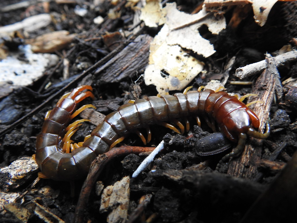 The World's Best Photos of myriapod and scolopendridae ...