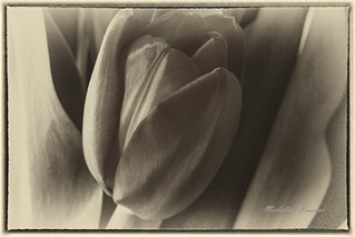 Tulip for a gray day