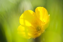 Buttercup macro (PaulHoo) Tags: nikon d700 macro closeup buttercup flower dof bokeh green yellow color nature soft spring light detail flora holland netherlands