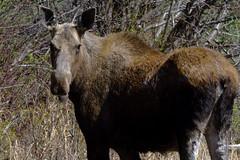 ALCES ALCES (Female cow moose, Alaska Highway)  -  (Selected by GETTY IMAGES) (DESPITE STRAIGHT LINES) Tags: nikon d800 nikond800 nikkor2470mm nikon2470mm nikongp1 paulwilliams despitestraightlines flickr gettyimages getty gettyimagesesp despitestraightlinesatgettyimages britishcolumbia bc canada moose moosecow cowmoose femalemoose alcesalces wildmoose awildmoose northamericanmoose