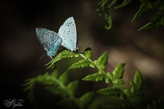 Couple (AnzhN) Tags: nature love couple availablelight macro butterfly canon carlzeiss perfection garden forrest