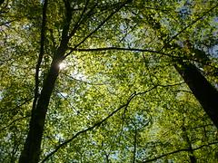Junges Buchengrün (Jörg Paul Kaspari) Tags: diebergkraterseetour wanderung mai 2017 eifel vulkaneifel maigrün junges buchengrün wald buchenwald fagus sylvatica buche